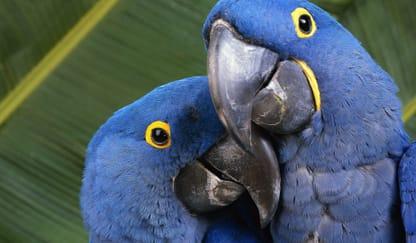 Hyacinth Macaw Parrot Theme